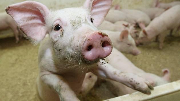 Chov prasat - vepřové maso. ilustrační fotografie.