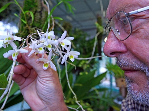Orchideje a sukulenty, které byly zabaveny pašerákům, pěstují v liberecké Botanické zahradě. Ředitel zahrady Miloslav Studnička s orchidejí s dočasným pracovním názvem Dendrobium SP.