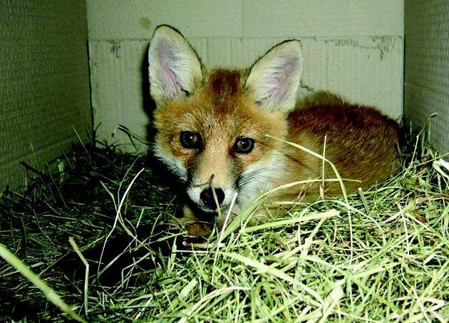 NEOBVYKLÝ HOST. V útulku se našlo místo i pro lišku.