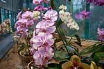 Orchideje v liberecké botanické zahradě.