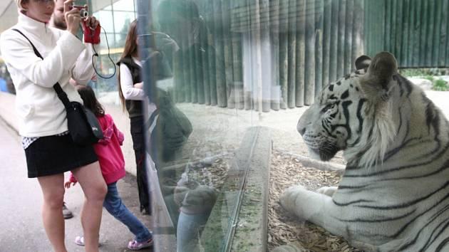 Křtiny nově narozených mláďat bílých tygrů v liberecké zoo proběhl v sobotu 8. září v areálu zoologické zahrady. Kmotry se stala Barbora Špotáková, Petr Urban, Petr Nedvěd a Michaela Ochotská.