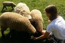 Ovce Suffolk.