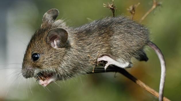 Myška akrobatka.