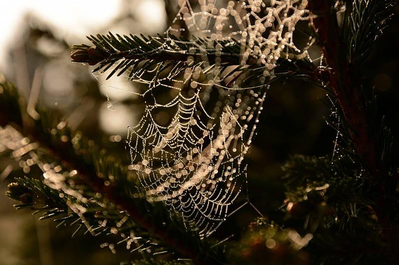 Ranní pavučinka