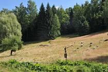CHRÁNĚNOU LOUKU v červenci experimentálně spásaly ovce. Pokud se ukáže, že ovce pomohly návratu vzácných bylin, Liberecký kraj plánuje využívat býložravce častěji.