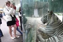 Jedním z největších lákadel liberecké zoo jsou bílí tygři.