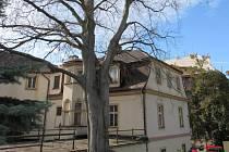UŽ V LÉTĚ byl buk kvůli otravě bez listí. V památkové zóně města má teď nuceně pokácený strom nahradit nový buk červený.