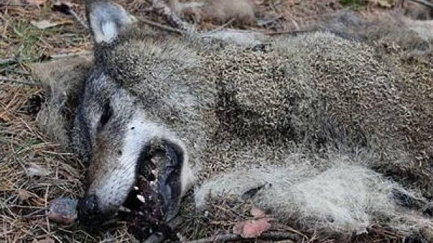 Ochránci přírody vypisují stotisícovou odměnu kvůli mrtvému vlkovi.