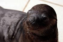V liberecké zoo se narodil lachtan.