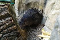 Zoo Liberec začala s chovem osináků afrických.