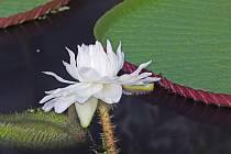 Květy viktorie královské se otevírají pouze v noci, první noc je bílý, druhou noc už sytě růžový.