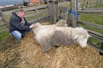 Chovatel Petr Stříbrný a ovce z nakaženého stáda v únoru 2008.