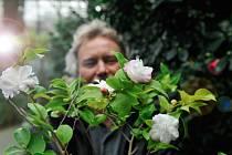 Rozkvetlé kamélie se v období Vánoc stávají největším lákadlem Botanické zahrady v Liberci.