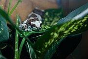 Žába rosnička včelí (Trachycephalus resinifictrix) v liberecké zoologické zahradě na snímku z 15. března.