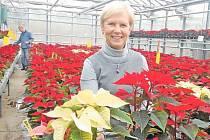Ze skleníku na vánoční stůl. Budoucí liberečtí zahradníci pěstují vánoční hvězdy pro celý region.