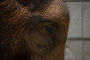 Samice slona indickéhoRání v Liberecké zoologické zahradě na snímku z 17. července.