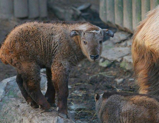 Takini v liberecké zoo.