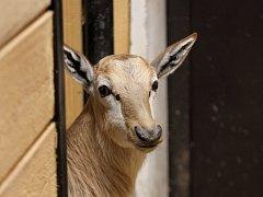 PRVNÍ MLÁDĚ letošního roku v liberecké zoo je sameček buvolce běločelého Mel. V dospělém věku dosahuje hmotnosti od 50 do 80 kilogramů. Dožívá se v průměru 17 let.