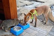 Liška Jůlie je zvyklá na lidi, takže se klidně i nechá pohladit, když se ji bude zrovna chtít.