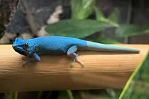 Gekon modrý, samec.