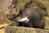 POTÍŽISTKA. V České republice žijí dva druhy kun. Skalní a lesní. Potíže působí kuna skalní. Pozná se podle bílé náprsenky.