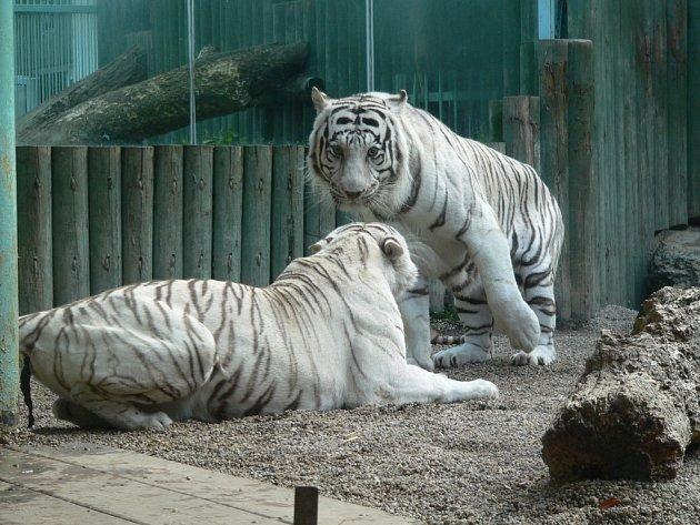 ZTRÁTA. Zoologická zahrada Liberec přišla o svou chloubu, sedmnáctiletého bílého tygra Tibeta. Na archivním snímku se samicí Isabellou (vlevo).