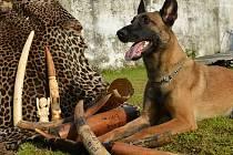 HANA BÖHME A CAMA. Fenku vycvičila českolipská kynoložka pro boj s pašeráky a překupníky ohrožených zvířat. Cama zahynula spolu s dobrovolníkem organizace Save-elephants, když při návratu z expedice havarovalo jejich auto.