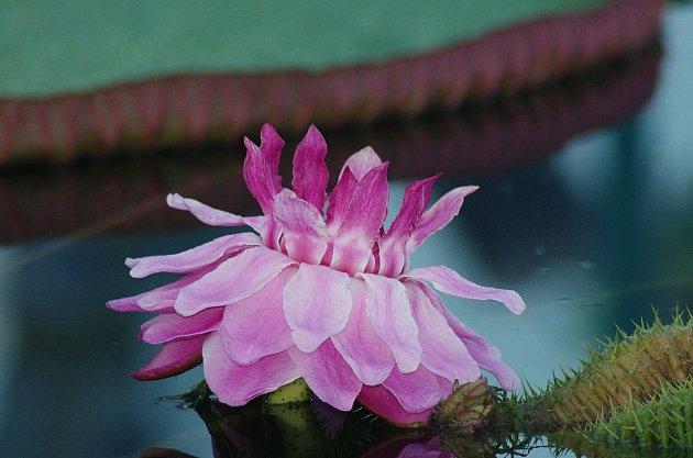Květy viktorie královské se otevírají pouze vnoci, první noc je bílý, druhou noc už sytě růžový.