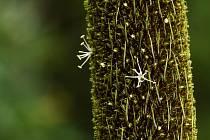 V Botanické zahradě v Liberci poprvé vykvetl žlutokap.