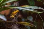 Žába pralesnička strašná (Pyhllobates terribilis) v liberecké zoologické zahradě na snímku z 15. března.