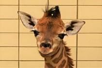 Liberecká zoo se raduje z narození žirafího samečka