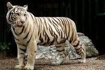 Bílá tygřice Surya Bára.