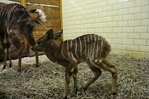 NOVÝ PŘÍRŮSTEK. Nejnovějším mládětem v liberecké zoologické zahradě je samička antilopy nyaly nížinné.