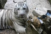 ENRICHMENT napodobuje přirozené aktivity zvířat ve volné přírodě. V liberecké zoo tygřata lovila navoněné návnady.