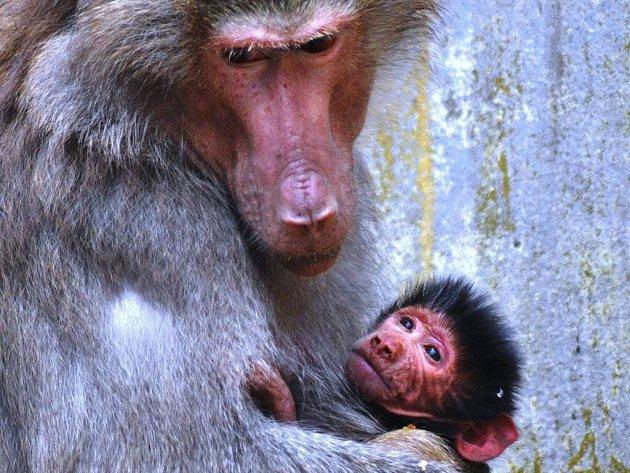 Paviánům Niky a Ditrichovi se narodilo další mládě.