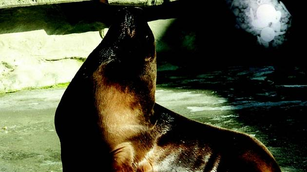 Maravilla, samička lachtana hřivnatého.