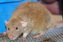 Potkan. Ilustrační snímek.