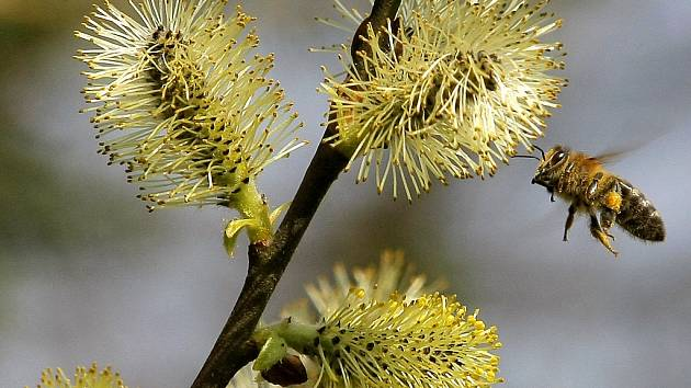 VČELA. Ilustrační foto. Med, včelstvo, opylování.