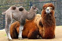 TASEY SE SVOU VELBLOUDÍ MATKOU zahájily v zoo Liberec sezónu. Zahrála jim k tomu liberecká kapela Těla. Zoologická zahrada poprvé ve své dvaadevadesátileté historii v sobotu 2. dubna oficiálně odstartovala sezónu.