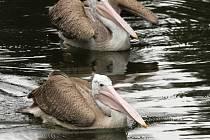ZOO Liberec získala do svého chovu nový druh veslonohých vodních ptáků, pelikány skvrnozobé.