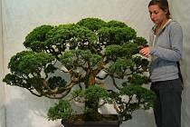 JALOVEC ČÍNSKÝ je nejdéle pěstovaná bonsaj na evropském kontinentu.