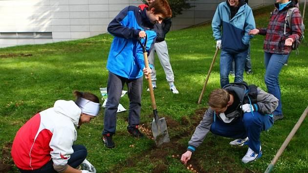 POKVETOU ŽLUTĚ! Nenáročné trvalky krokusy vykvetou třeba pod Synagogou. Sázeli je čeští i němečtí studenti. Na snímku studenti z Česka.