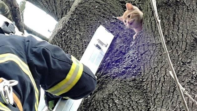 Kotě čekalo na hasiče na stromě v osmi metrech.