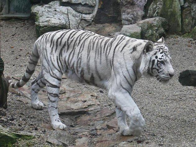 Poslední snímek tygřice Isabelly, kterou napadli a smrtelně zranili dva lvi.  Pořízeno z večerního krmení dne 18. listopadu.