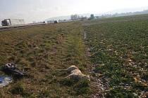 U Turnova srazilo auto psovitou šelmu. Pravděpodobně šlo o vlka.