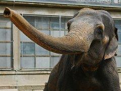 Slonice Rání v Liberecké Zoo