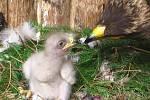 Liberecká zoo odchovala mládě vzácného orla křiklavého pomocí inseminace mraženým spermatem.