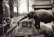 Liberecká slonice Rání v roce 1982.
