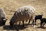 Farmář Milan Maršálek našel zabité ovce v pondělí 15. března. Na statku v Dolní Řasnice chová Maršálek romanovské ovce posledních 10 let, stádo má asi 70 kusů.