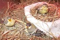 Sýkora vyhodila svá mláďata z hnízda